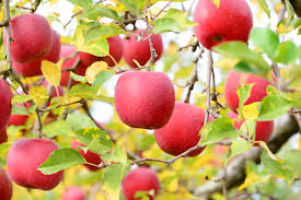 Image result for apple fruit