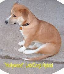 corgi lab mix puppies.  Mix Hollywood The Tan And White Corgidor Is Sitting Outside In Middle Of A  Sidewalk And Corgi Lab Mix Puppies