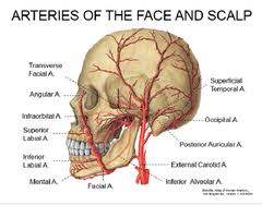arteries of the face anatomy lab week 11 flashcards quizlet
