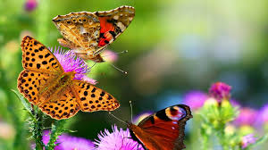nature butterfly animals 1920x1080 ...