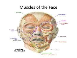 face anatomy anatomy scalp face