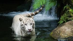 white tiger wallpaper hd 1080p. Unique White HD Wallpapers 1080P  White Tiger Wallpaper HD 1920x1080  1080p  In Wallpaper Hd