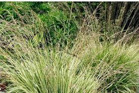 Grass Identification Chart Uk Ornamental Grass Types Ornamental Grass Identification