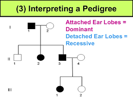 Pedigree Chart For Free Or Attached Earlobes Expository Pedigree Chart For Free Or Attached Earlobes