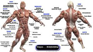 Bodybuilding Exercises Chart Free Download Pdf Muscle Anatomy