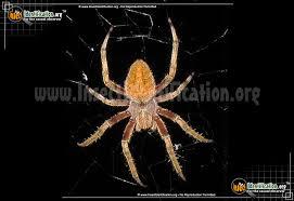 Spider Identification Chart Arkansas Orb Weaver