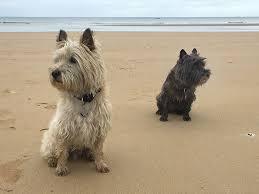 cairn terrier. Exellent Terrier Cairn Terrier Dog Breed Picture In