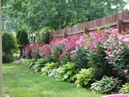 Small Picture Knockout roses and hostas planted along fencewhat a beautiful