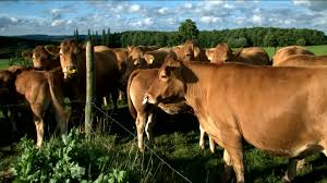 barbed wire fence cattle. HD Rights Managed Stock Footage # 840-310-463 Barbed Wire Fence Cattle