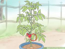 image titled prune patio tomatoes step 1