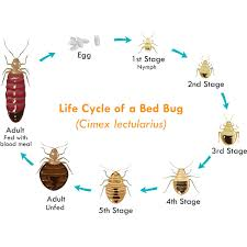 Get Lice Symptoms Of Bed Bugs In Hair Background