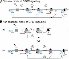 Gpcr Signaling Noncanonical Gpcr Signaling Arising From A Pth Receptor