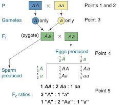 Mendelian Genetics Chart Primer Of Mendelian Genetics