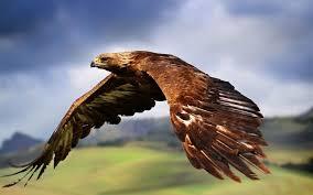 golden eagles flying. Simple Golden Goldeneagleflyingwallpaper And Golden Eagles Flying A