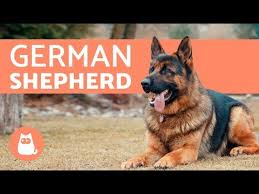 Wellness Core Puppy Feeding Chart 8 Best Dog Food For German Shepherd In 2019 Totally Goldens