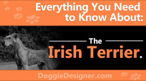 Irish Terrier Weight Chart The Irish Terrier A Complete Guide Doggie Designer