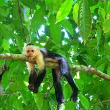 real jungle animals monkeys. Plain Animals Just Hanginu0027 Out Monkey Hanginout Jungle Animals Wildlife  Conservation With Real Jungle Animals Monkeys A