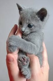 cute baby cats for sale. Simple Cute Grey Cats Kittens For Sale Baby Cats On Cute Sale