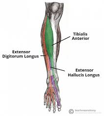 Muscles Of The Leg Anterior Lateral Posterior
