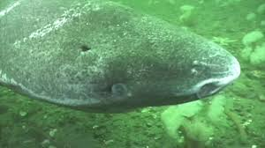 the creature feature fun facts about the greenland shark wired