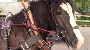 how to clean leather horse harness youtube horse harness for sale at Horse Harness