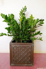 this shiny beauty shares the same family with these other popular houseplants pothos