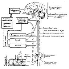 Анатомо физиологические основы массажа механизм его действия на  механизм действия массажа