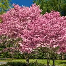 pink flowering dogwood naturehills com