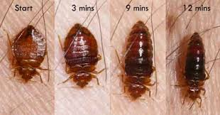 Size Of Bed Bugs Chart Picture Of Bed Bugs Anatomy And Diagram