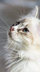 White Cat Wallpaper - iPhone, Android ...
