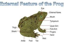 Parts Of A Frog Frog Body Under Fontanacountryinn Com