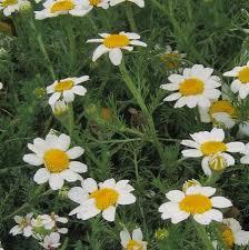 Anacyclus clavatus (White Anacyclus) : MaltaWildPlants.com - the ...