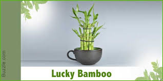 lucky bamboo or dracaena sanderiana is native to the african rainforests although the name suggests bamboo they are not related to the bamboo at all best office plant no sunlight