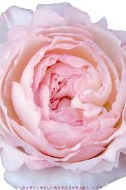 david austin wedding rose keira 001