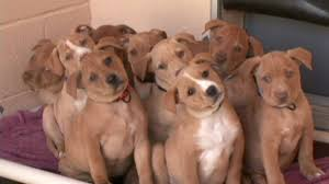pitbull dog puppies. Contemporary Pitbull On Pitbull Dog Puppies S