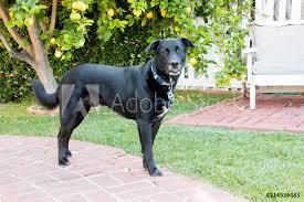 Fotografie Obraz Adult Big Black Labrador Retriever Shepherd Mix