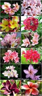 plumeria variety in thailand new thai plumeria 40 flowers available now it looks fantastic