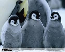 cute baby penguin wallpaper. Modren Baby Penguins Images March Of The WPs HD Wallpaper And Background Photos In Cute Baby Penguin Wallpaper
