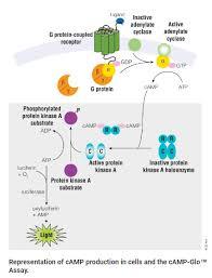 Gpcr Signaling Gpcr Assays Gpcr Assays Cell Signaling Promega Labnet