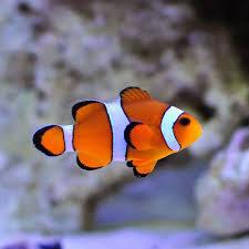 different colored clown fish. Plain Clown Percula Clownfish On Different Colored Clown Fish