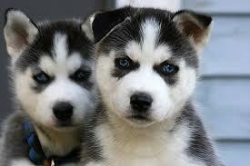 cute dogs and puppies husky. Exellent Husky Dogs Images Cute Husky Puppies U003c3 Wallpaper And Background Photos To And R