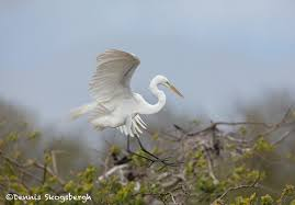 6251 Great Egret (Ardea alba), Smith Oak Rookery, High Island, Texas -  Dennis Skogsbergh PhotographyDennis Skogsbergh Photography