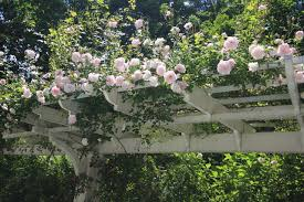 Best 25 Climbing Flowering Vines Ideas On Pinterest  Flowering Wall Climbing Plants Names