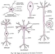 Neural Tissue Origin Properties And Functions With Diagram