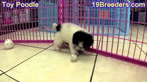 toy poodle puppies in indianapolis indiana in valparaiso goshen westfield merril