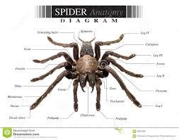 Spider Anatomy Chart Spider Diagram Stock Photo Image Of Poison Eurypeima