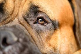 unequal p size in dogs