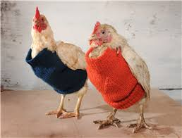 Chicken Sweater Pattern Inspiration Help Rescued Chickens By Knitting Adorable Sweaters The Mary Sue