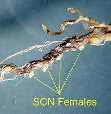 Soybean Cyst Nematode Scn The P Pdl Picture Of The Week