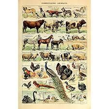 Cattle Chart Amazon Com Vintage Poster Print Art Domestic Animal Species
